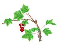Korinthenzweig mit roten Beeren Stockbild