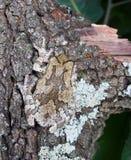 Korkåpas gråa chrysoscelis för Hyla för trädgroda, versicoloron  Arkivbilder