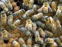 Korkade Honey Bee Brood Arkivbilder