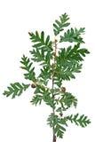 Korkenbaum brach mit Grünblättern und -eicheln Lizenzfreie Stockbilder