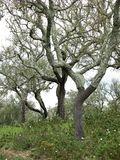 Korkowi dębowi drzewa z barkentyną usuwali, Portugalia Obrazy Stock