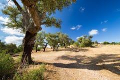 Korkowi dęby w Portugalskiej wsi Zdjęcie Royalty Free