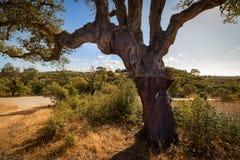 Korkowi dęby w Portugalskiej wsi Obrazy Royalty Free