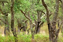 Korkowi drzewni drewna Zdjęcia Stock