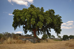 Korkowy Dębowy drzewo Obraz Stock