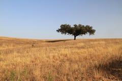Korkowy drzewo Zdjęcia Royalty Free
