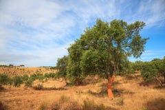 Korkowy drzewo niedawno obdzierający Fotografia Stock