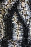 Korkowy drzewo - szczegół Obraz Royalty Free