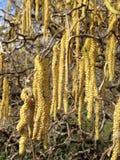 Korkskruv Hazel Plant Blossoming med hängear i vår i trädgård Royaltyfri Fotografi