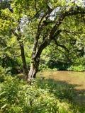Korkträd på skogsjön, sommarlandskap Arkivfoto