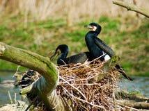 kormoranów Fotografia Royalty Free