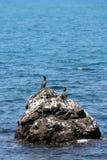 kormoranów Obraz Stock