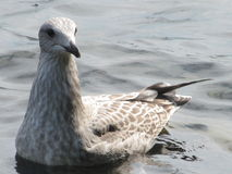 kormoranów Zdjęcia Royalty Free
