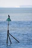 kormoranów Zdjęcie Stock