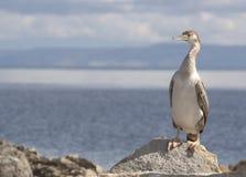 kormoranów Fotografia Stock