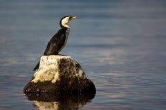 kormoranów obrazy stock