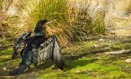 kormoranów Obrazy Royalty Free
