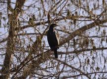 kormoranów Zdjęcie Royalty Free