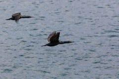 Kormoranów ptaki lata nad oceanem spokojnym zdjęcie royalty free