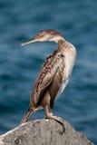 kormoran obrazy royalty free
