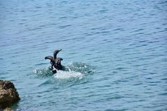 Kormoran-adriatisches Seeschwarz-Flügel Lizenzfreie Stockfotos