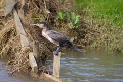 Kormoran, der auf einem Posten in einem Fluss in Süd-England sitzt stockbild
