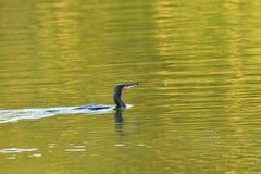 Kormoran, der mit Flügeln auf dem Wassersee flaping ist Lizenzfreie Stockfotos