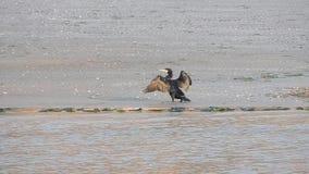 Kormoran, der seine Federn auf dem Strand geht und rüttelt stock footage