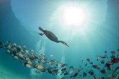 Kormoran, medan fiska som är undervattens- i beteboll royaltyfria foton