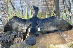 Kormoran mit ausgestreckten Flügeln stockfotos