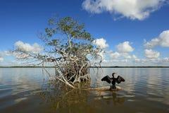 Kormoran na namorzynowym korzeniu w błotach parki narodowi, Floryda obraz stock