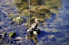 Kormoran nad kamieniem Zdjęcie Royalty Free
