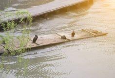 Kormoran och bambuflotte Arkivfoto