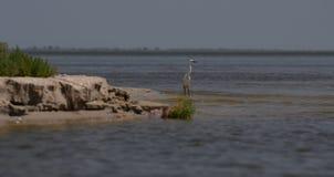 Kormoran och pelikan fiskar och vilar i Donaureserven i Blacket Sea nära rottingen arkivfoton