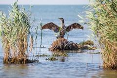 Kormoran osuszka uskrzydla w świetle słonecznym w Danube delcie Zdjęcia Royalty Free
