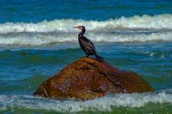 Kormoran på det baltiska havet Royaltyfria Bilder