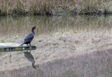 Kormoran på ett damm som beskådar den milda vintern Royaltyfria Foton