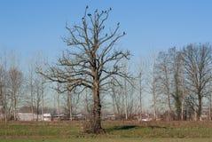 Kormoran på ett träd Arkivfoton