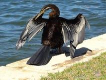 Kormoran på svanen Arkivfoton