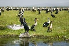 Kormoran przy Jeziornym Naivasha, Wielki rift valley, Kenja, Afryka Zdjęcie Royalty Free