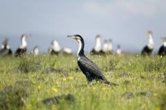 Kormoran przy Jeziornym Naivasha, Wielki rift valley, Kenja, Afryka Obrazy Royalty Free