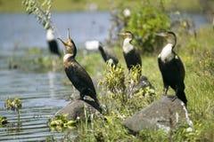 Kormoran przy Jeziornym Naivasha, Wielki rift valley, Kenja, Afryka Obrazy Stock