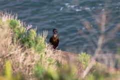 Kormoran ptasia pozycja na blefie, losu angeles Jolla plaża, San Diego, Kalifornia fotografia royalty free