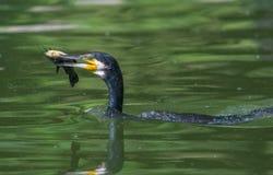 Kormoran som jagar en fisk i vatten Arkivbild