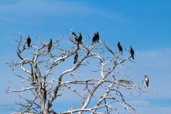 Kormoran som sitter på kalt träd Fotografering för Bildbyråer