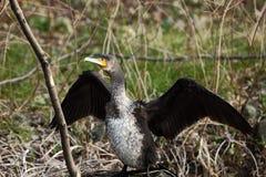 kormoran trochę Zdjęcia Stock