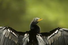 Kormoran-trocknende Flügel-Nahaufnahme Stockbild