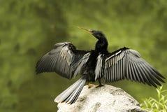 Kormoran-trocknende Flügel voll Stockfoto