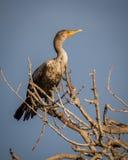 Kormoran umieszcza na bezlistnym drzewie Obraz Royalty Free
