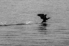 Kormoran zdejmuje nad jezioro wodą obrazy stock